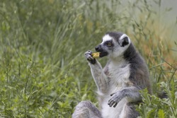Lemur catta sits in a tall grass and eats.(Lemur catta) Close up of a male Ring-Tailed Lemur