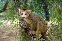 Lemur Coronatus of Madagascar