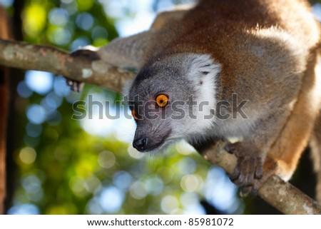 Lemur fulvus, lémurien roux de Madagascar