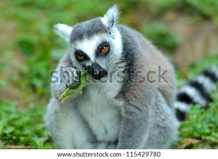 Lemur in a natural habitat