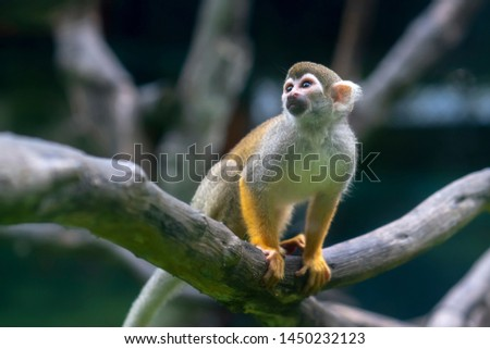 Lemur in rain forest trees Madagascar. Lemurs range in weight from 30 g to 9 kg. Most of them eat a lot of fruits and leaves and some species only eat one kind of food