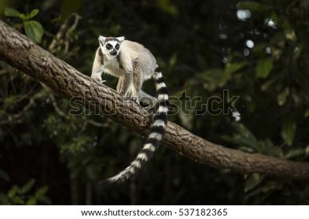 Lemur in their natural habitat, Madagascar.