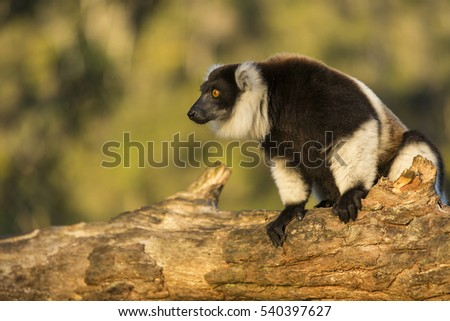Lemur in their natural habitat, Madagascar. #540397627