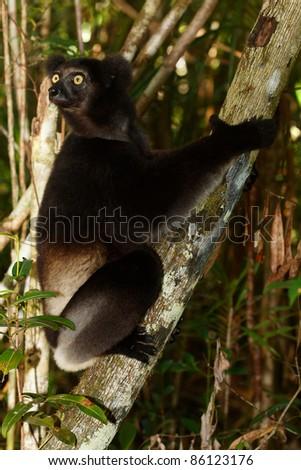 Lemur Indri Indri, lémurien aux yeux oranges