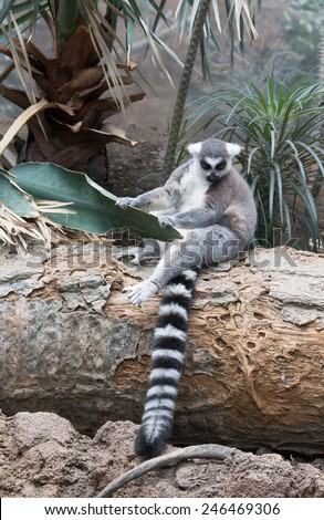 Lemur is sitting on a tree trunk and holds palm leaf. #246469306