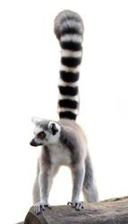 lemur isolated
