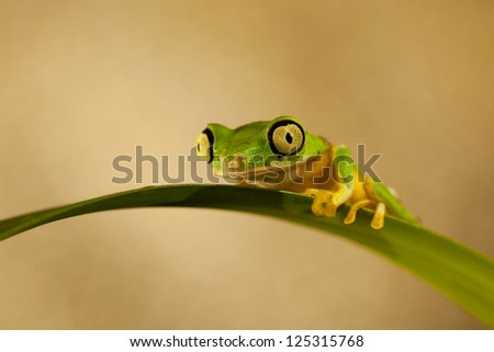 Lemur Leaf Frog (Phyllomedusa Lemur)