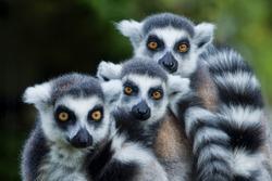 lemur monkey family on the grass