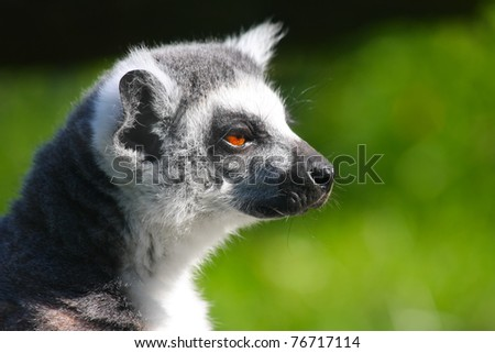 Lemur on a green background closeup