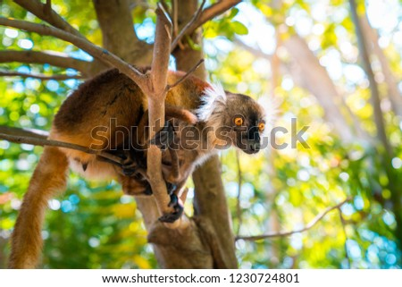 lemur on a tree endemic of lokobe island in nosy be, madagascar, africa