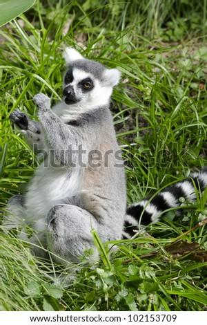 Lemur portrait.