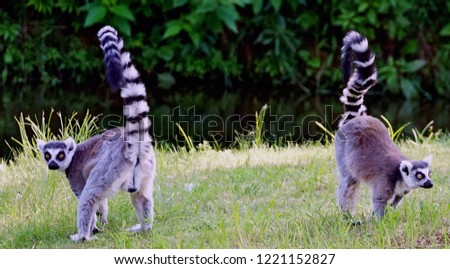 lemur sitting and lemurs watching