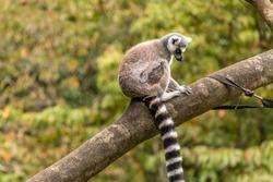 Lemur sitting and posing on a tree limb