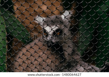 Lemur sitting near grid fence, fence in focus. Lemurs are mammals of the order Primates, divided into 8 families and consisting of 15 genera and around 100 existing species.