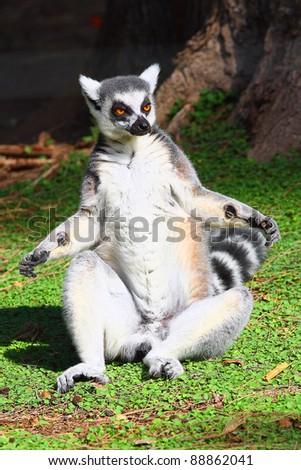 Lemur taking up a curious pose