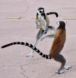 Lemurs interacting dancing playing fighting in various poses