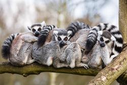 Lemurs sat hugging