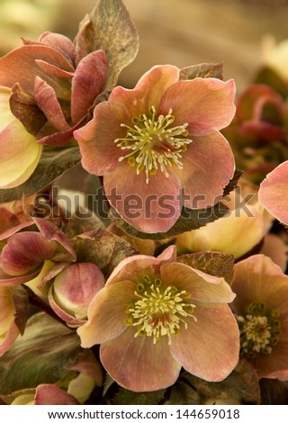 Lenten Rose Impressive blooms of the Lenten Rose or Christmas Rose.  The blooms are white, pink, and green to mauve as they mature.  The Lenten Rose is a hellebores.
