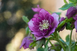 Lenten rose or hellebore flowers  Double Ellen Picotee which naturally nod. Evergreen plant Hellebore rose flower or lenten rose. Poisonous winter flowering plant Double Ellen Picotee