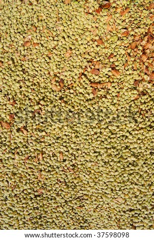 Lentil background, fresh from the field before cleaning.