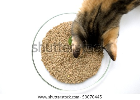 Lentil in glass on white background and cat
