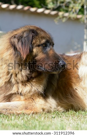 Leonberger dog lying down on grass