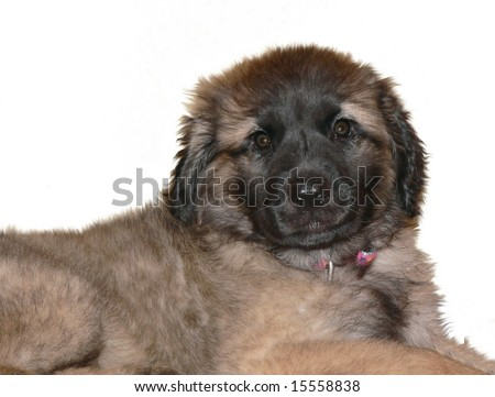 Leonberger Puppies on Old Leonberger Leonberger Leonberger Leonberger Leonberger Leonberger