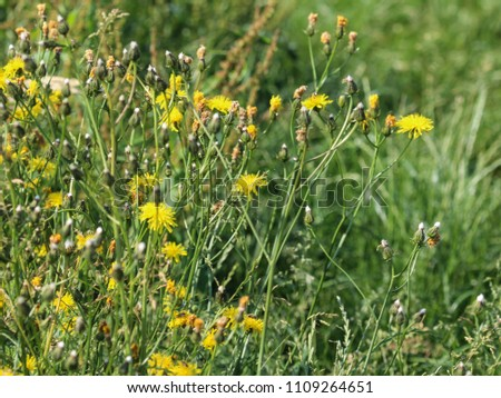 Leontodon hispidus flower, known by the common names bristly hawkbit and rough hawkbit, blooming in the summer