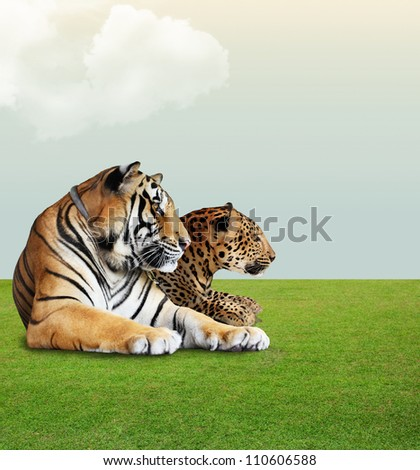 Leopard and tiger  under the sky with cloud on grass floor