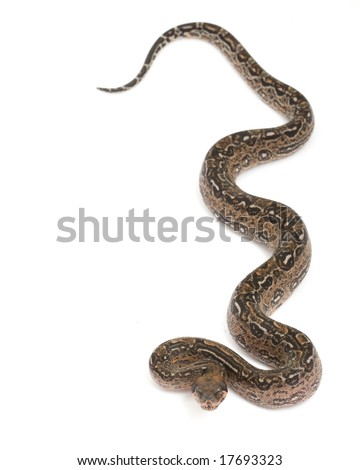 Leopard Argentine Boa (Boa constrictor occidentalis) on white background.