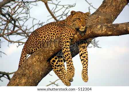 Leopard at Ngala Private Game Reserve, South Africa