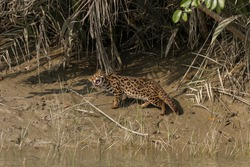 Leopard Cat chewing grass blade to overcome indigestion problem at Sundarban National Park, West Bengal, India