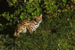Leopard cat in the night.