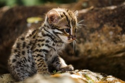 Leopard cat is wild animal live in tropical rain forest, Thailand, South east Asia. they are rare species.It is a small tiger mammal.As a predator, catch small animals for food.