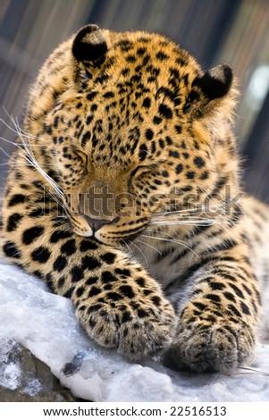 Leopard closeup in Novosibirsk Zoo - stock photo