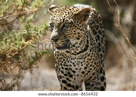 Leopard Closeup in Samburu
