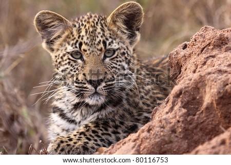 Leopard cub close up #80116753