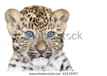 Leopard cub isolated on white background