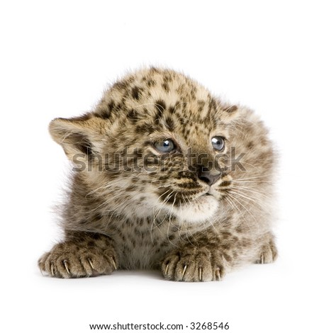 leopard Cub (2 months) in front of a white background.