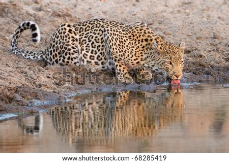 Leopard drinking at waterhole