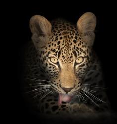 Leopard face close-up in the dark - Panthera pardus
