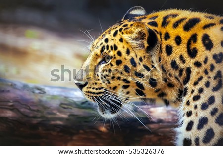 Leopard face profile
