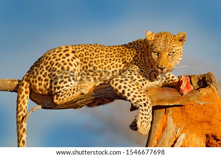 Leopard feeding catch meat on the tree. Animal kill behaviour in the Africa. Wild cat with zebra carcass, beautiful evening light in Etosha, Namibia, Africa. Detail portrait of spotted cat and meat.