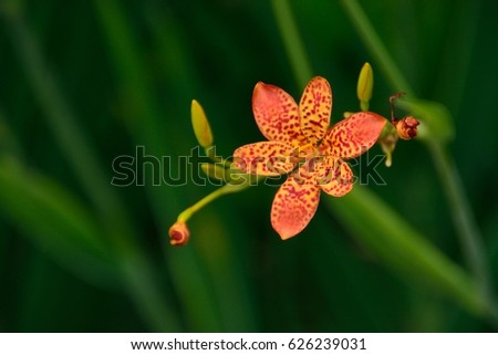 Leopard Flower as known as Leopard Lily as known as Chinese tiger lily
