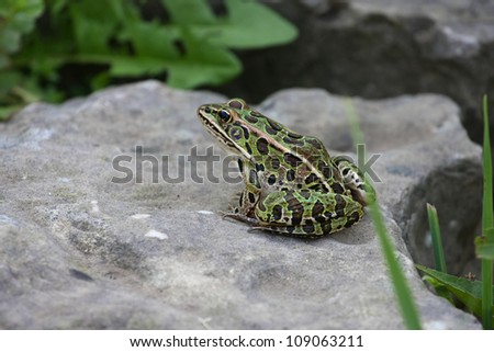 Leopard Frog - stock photo