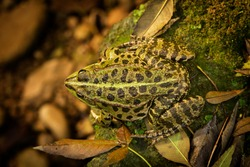 leopard frog before the leap