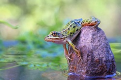 Leopard Frog on the rock with copy space.