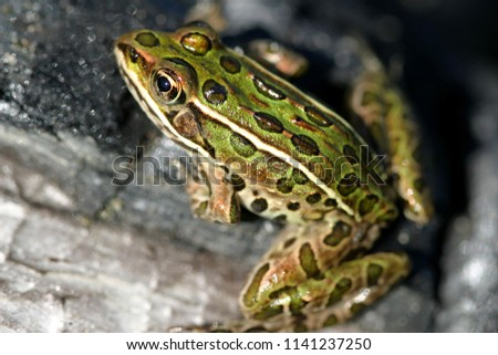 Leopard Frog Ready to Leap #1141237250