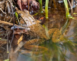 Leopard frogs on the lake