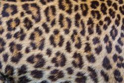 Leopard fur background.